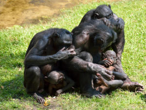Bonobo monkeys, discussing life...