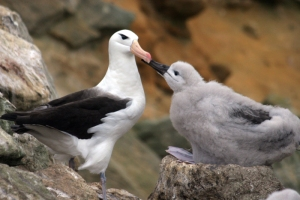 "Black Browed Albatross reciting ""The Rime of the Ancient Mariner"" to her son"
