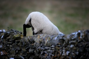 Peak_District_Animals_-_Sheep_2