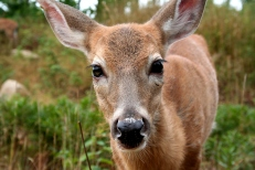 doe_eyes_by_lunalupine.jpg