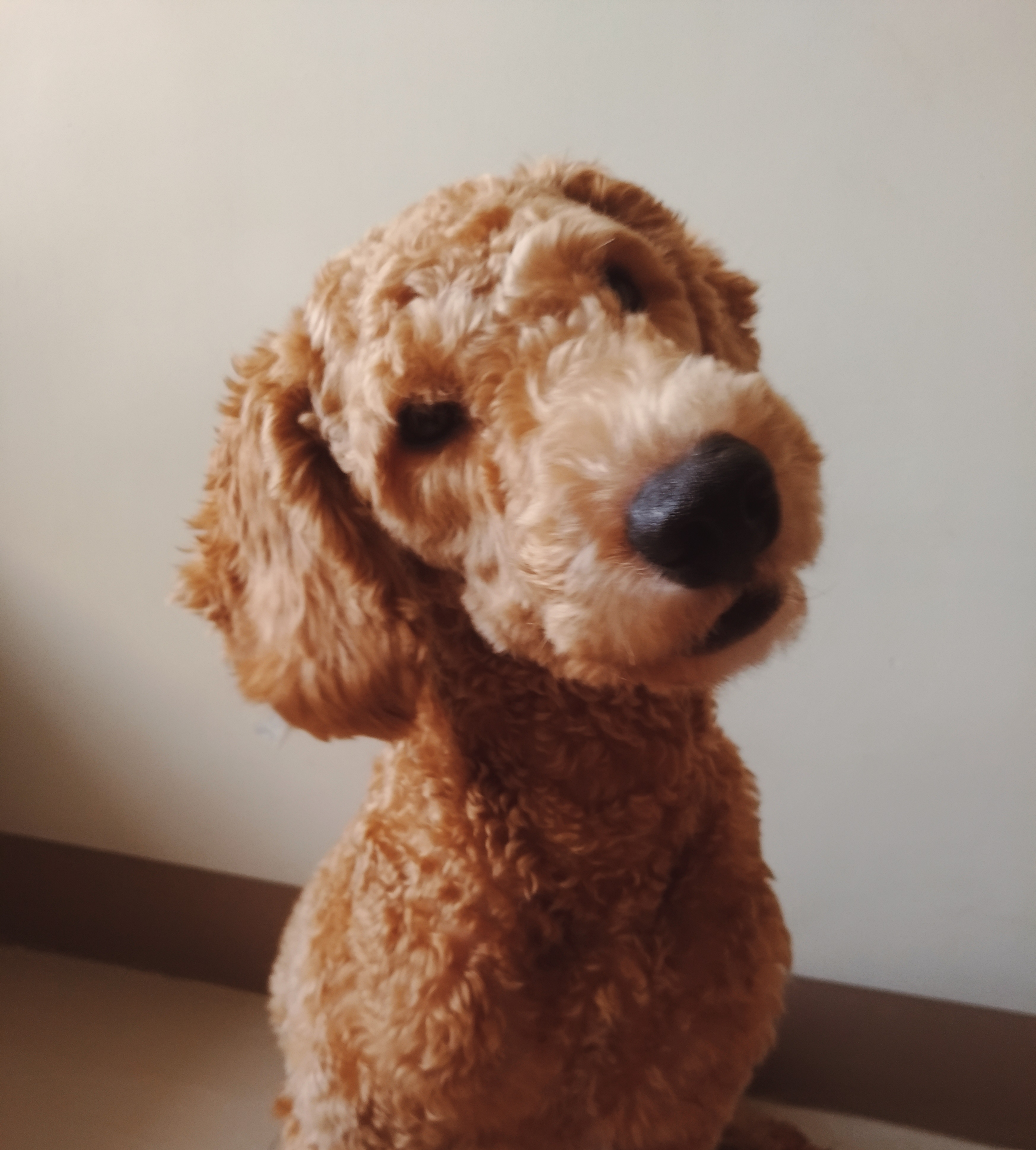 cute-dog-listening-poodle-thinking-2524377